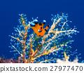 海参 海中珍宝鱼 海洋动物 27977470