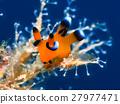 海參 海中珍寶魚 沖繩潛水 27977471
