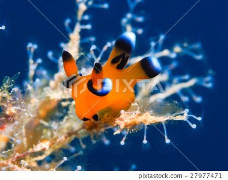 海参 海中珍宝鱼 海洋动物 27977471