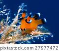 海参 海中珍宝鱼 海洋动物 27977472