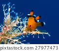 海參 海中珍寶魚 沖繩潛水 27977473