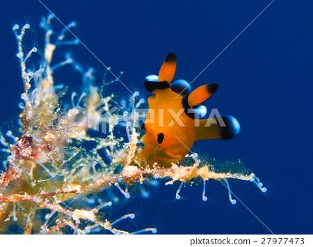 海参 海中珍宝鱼 海洋动物 27977473