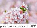 Flowering Plum 27986094