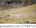 Central Asian Shepherd Dog Tending Sheep In The 27988726