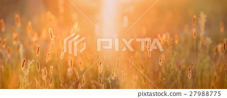 Grass In Yellow Sunlight And Bokeh, Boke 27988775