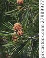 Lace-bark pine 27989977