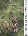 Bhutan pine cones 27990443