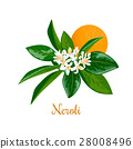 neroli, blossom, flower 28008496