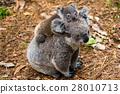 Australian koala bear native animal with baby 28010713