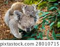 Australian koala bear native animal with baby 28010715