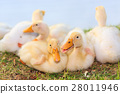 ducklings 28011946