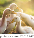 Cute ducklings 28011947