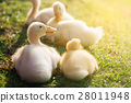 Cute ducklings 28011948