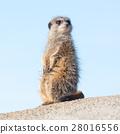 Meerkat on guard duty 28016556