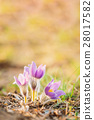 Wild Young Pasqueflower In Early Spring. Flowers 28017582
