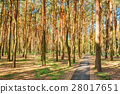 Paved Path For Walking Passing Through Pine Forest 28017651