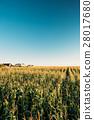 Green Maize Corn Field Plantation In Summer 28017680