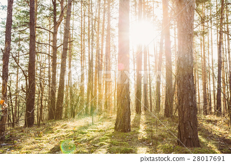 Sunset Or Sunrise In Coniferous Forest Landscape 28017691