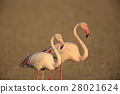greater, flamingo, flamingoes 28021624