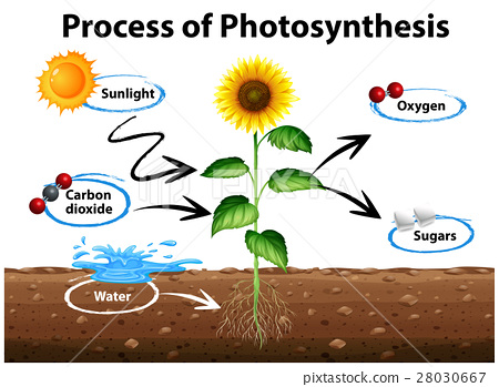 diagram sunflower and process of photosynthesis stock illustration rh pixtastock com photosynthesis clipart free photosynthesis clipart black and white