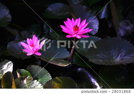 植物,荷花 28031868