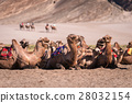 Camel safari at Hundar sand dunes in Nubra Valley 28032154