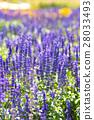 Lavender Field 28033493