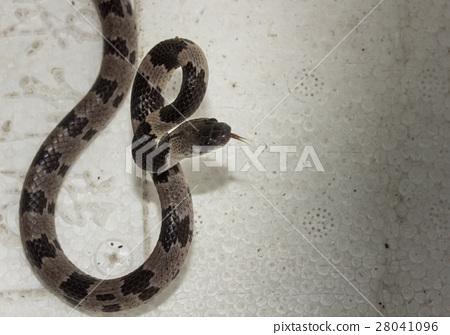 白梅花蛇 28041096