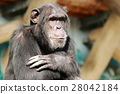 animal, animals, chimp 28042184