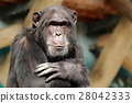 animal, animals, chimp 28042333