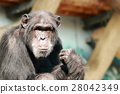 animal, animals, chimp 28042349
