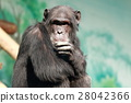 animal, animals, chimp 28042366