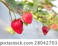 strawberry picking, strawberries, strawberry 28042703