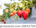 strawberry picking, strawberries, strawberry 28042704
