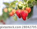 strawberry picking, strawberries, strawberry 28042705