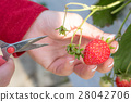 strawberry picking, strawberries, strawberry 28042706
