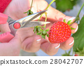 strawberry picking, strawberries, strawberry 28042707