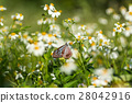butterfly and white daisies 28042916
