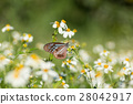 butterfly and white daisies 28042917