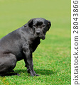 Labrador Retriever dog 28043866