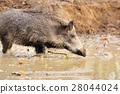 Wild boar 28044024