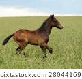 Horse 28044169