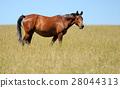 Horse 28044313