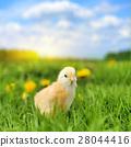 병아리, 새, 가금류 28044416