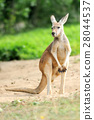 Kangaroo 28044537