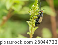 Striped blister beetles 28044733