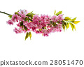 Cherry tree twig Fresh spring flowers green leaves 28051470