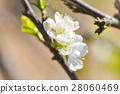 peach blossom flower, plum flower 28060469
