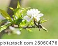 peach blossom flower 28060476