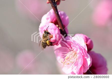 蜜蜂和梅花(紅梅)梅花和蜜蜂三菱蜜蜂梅花梅花春天 28060660